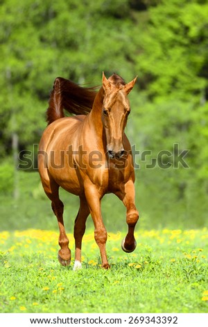 Golden red horse runs trot in summer time - stock photo