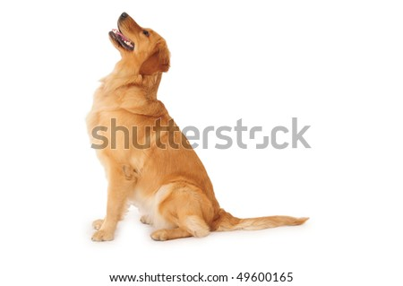 Golden retriever. - stock photo