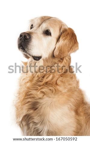 Golden retriever against white background - stock photo