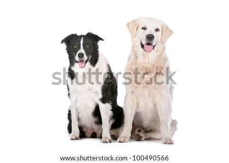Golden Retriever and a border collie in front of a white background