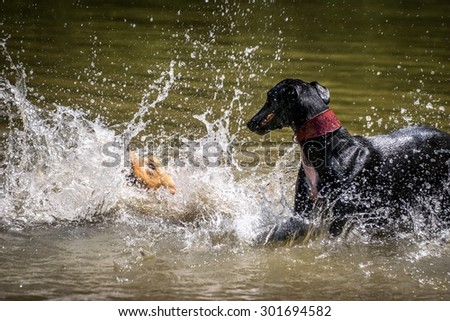 Golden Retriever and black greyhound playing with water in a lake