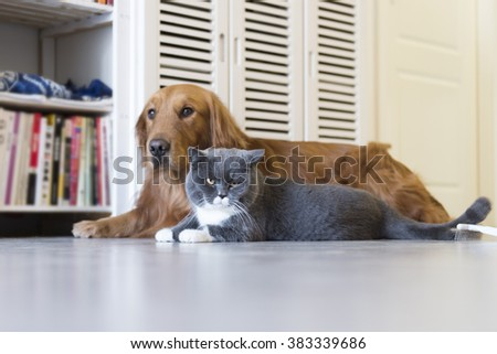 Golden Retriever and gray British Shorthair