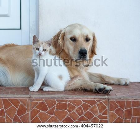 Golden Retriever and kitten - stock photo
