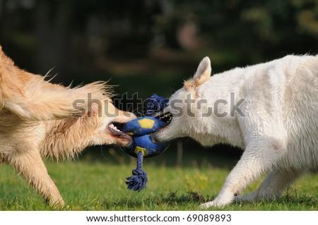 Golden Retriever and White Shepherd  tug with the ball - stock photo