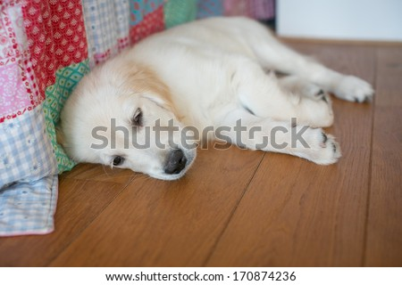 Golden retriever at home