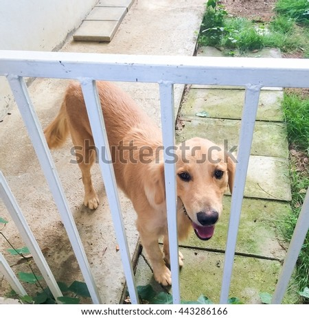 golden retriever behine cage