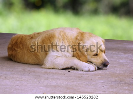 golden retriever breed relaxing while chewing a stick - stock photo