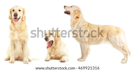 Golden retriever collection, isolated on white