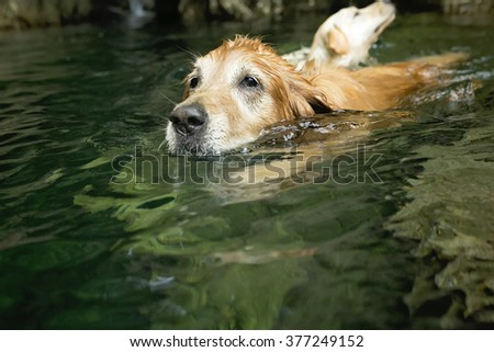 Golden retriever dog and best friend swim in river