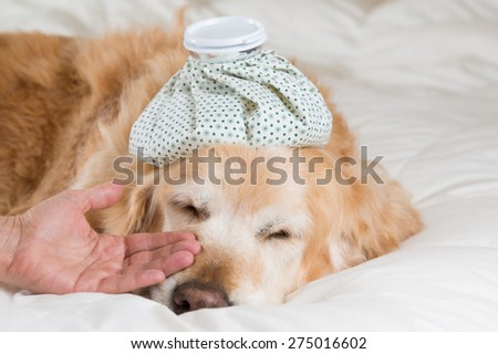 Golden Retriever Dog cold convalescing in bed - stock photo