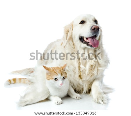 golden retriever dog embraces a cat. looking at camera. isolated on white background