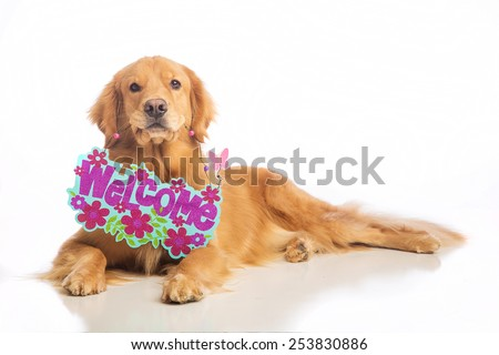Golden Retriever Dog holding a Spring time Welcome sign in his mouth - stock photo