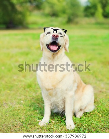 Golden Retriever dog in glasses on grass in summer day