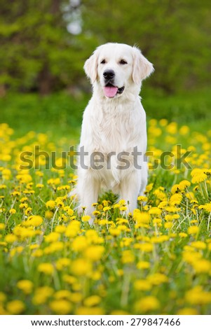 golden retriever dog in summer - stock photo