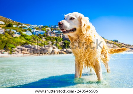golden retriever dog in the water at the beach, relaxing and enjoying the sun, in south africa - stock photo