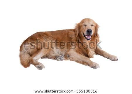 golden retriever dog isolated on white background - stock photo