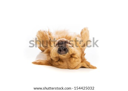 Golden Retriever dog laying upside down on his back - stock photo