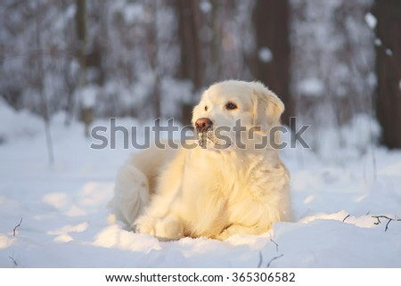 Golden Retriever dog lying in the snow in winter forest in sunny weather