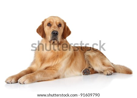 Golden Retriever dog lying on the white floor - stock photo