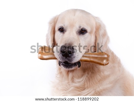 Golden retriever dog on white background