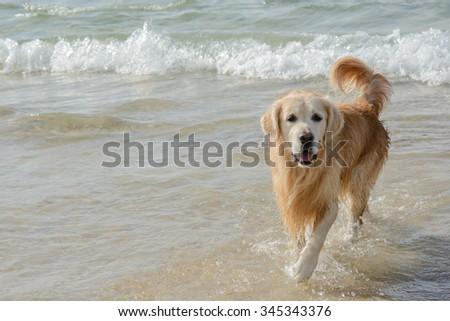 Golden Retriever Dog Play on the sea beach - stock photo