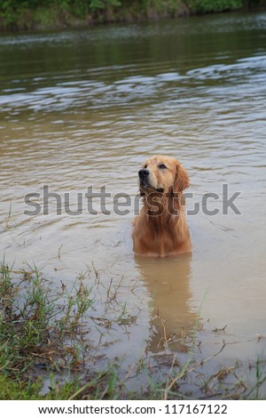 golden retriever dog playing in nature pond - stock photo