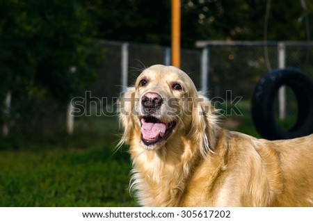 golden retriever dog portrait in profile on nature - stock photo