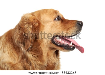 Golden Retriever dog portrait. Side view, isolated on white background - stock photo