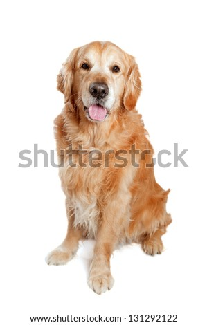 Golden retriever dog posing in studio. White background. - stock photo