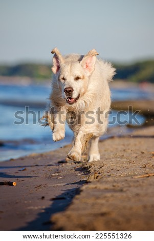 golden retriever dog running on the beach - stock photo
