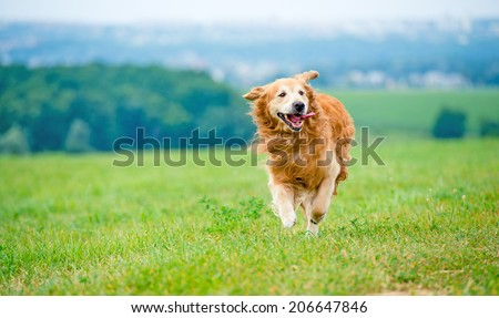 Golden retriever dog running on the field - stock photo