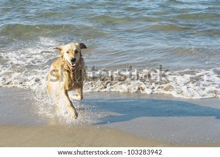Golden retriever dog running out of the sea on a beach. - stock photo