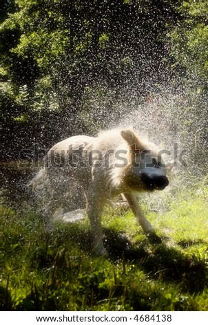 golden retriever dog shaking off water after bath in the river - stock photo