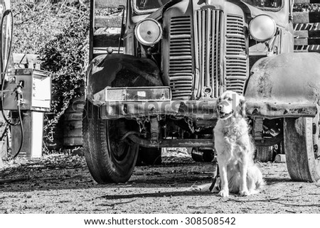 Golden retriever dog sitting in front of old truck with old petrol bowser