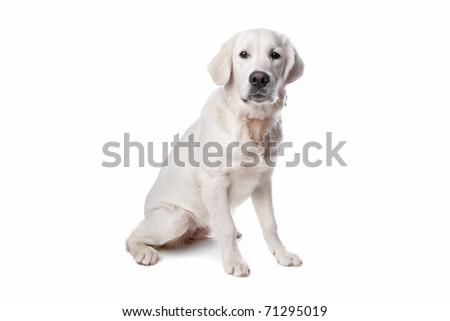Golden retriever dog sitting, isolated on a white background - stock photo