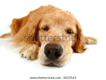 Golden retriever dog, taken at fun angle with wide angle lens