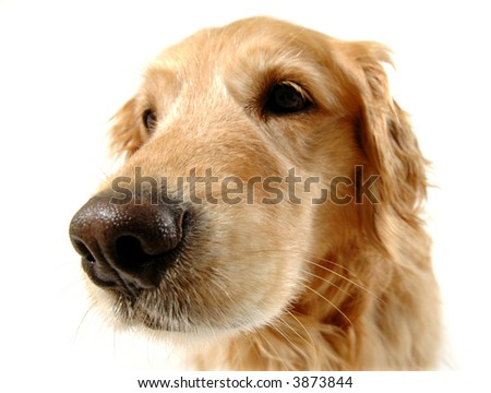 Golden retriever dog, taken at fun angle with wide angle lens - stock photo