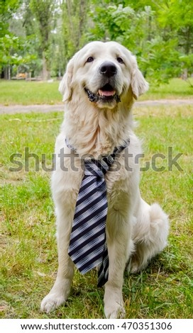 golden retriever dog wearing a tie