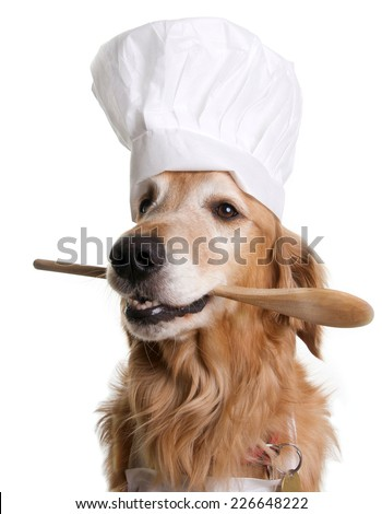 Golden Retriever Dog with a Chef Hat and holding a Spatula in his mouth on a white background. - stock photo