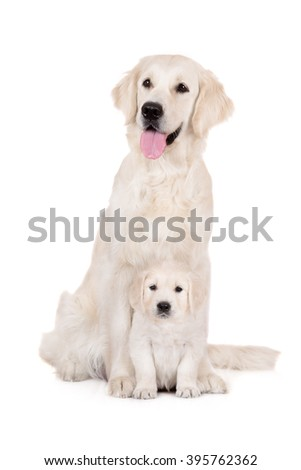 golden retriever dog with a puppy - stock photo