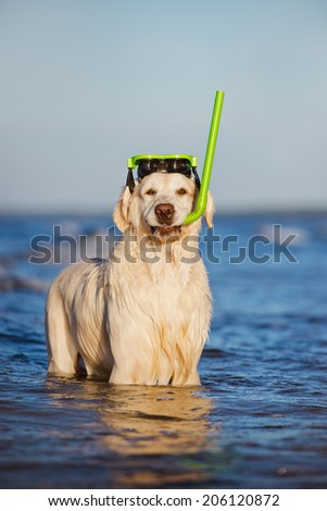 golden retriever dog with snorkel equipment - stock photo