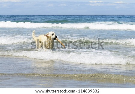 golden retriever dog  with stick in the sea - stock photo