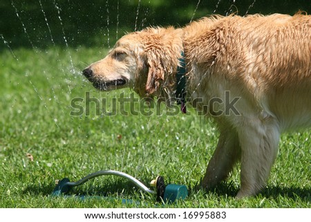 golden retriever enjoying the sprinkler during a hot summer day - stock photo