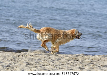 Golden Retriever have fun in a ocean