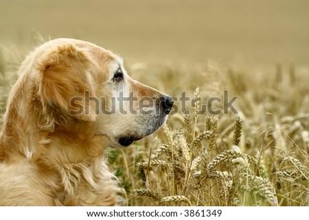 golden retriever in field wheat - stock photo