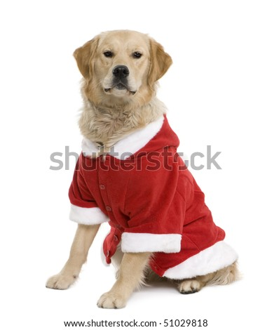 Golden retriever in Santa coat, 11 months old, sitting in front of white background - stock photo