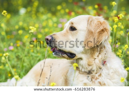 Golden retriever in the field of flowers