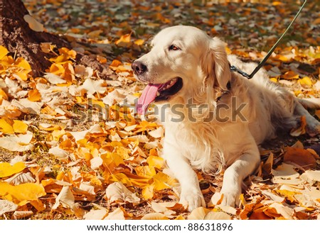 Golden retriever in the park surrounded by autumn leaves