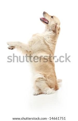 Golden retriever in the studio. - stock photo