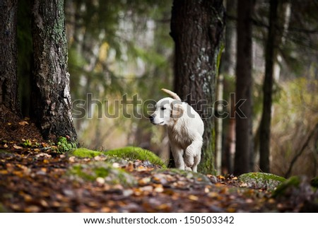 Golden Retriever in the woods, the lake, the dog on the nature - stock photo